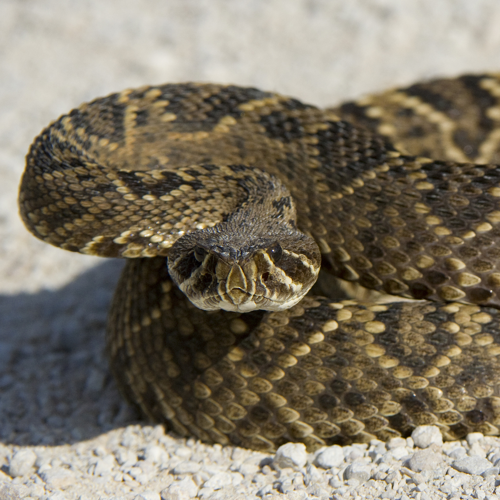 A Guide to the Most Dangerous Florida Snakes - Blogged Topics